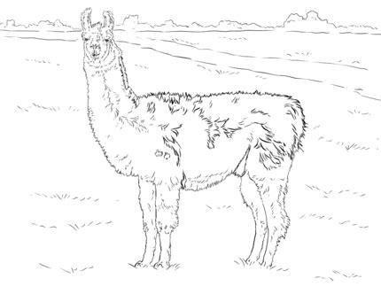 click   printable version  realistic llama coloring