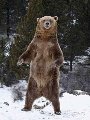 bear hunt  grizzly tale wildlife articles