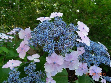 Gardensonline Hydrangea Macrophylla Shooting Star