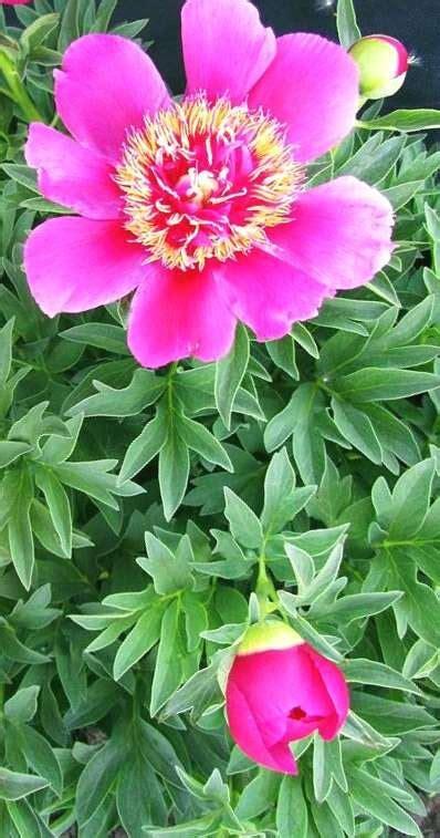 Peonija ārstnieciskā Anemoniflora /Paeonia officinalis/ - Peonijas - Katalogs - stadi-sakstagals.lv