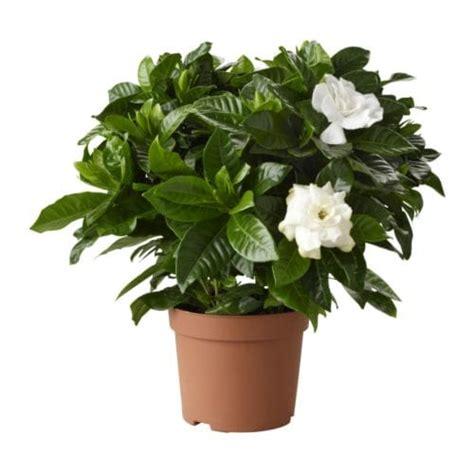 appareils cuisine gardenia jasminoides plante en pot ikea