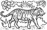 Coloring Tigers Children Pages Animals sketch template