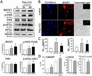 Poly  I C  Induces Pkr Activation  Upregulates Bace1 And
