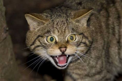 wildcat scottish animals dangerous cats cat most breeds owners extinct things population ate wonderslist interesting know need