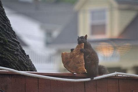 squirrels  notorious pizza thieves barnorama