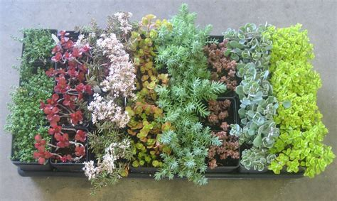 Mixed Sedum Collection  Succulent Plant Collections