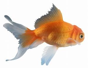 Goldfish – Carassius auratus auratus - Fish