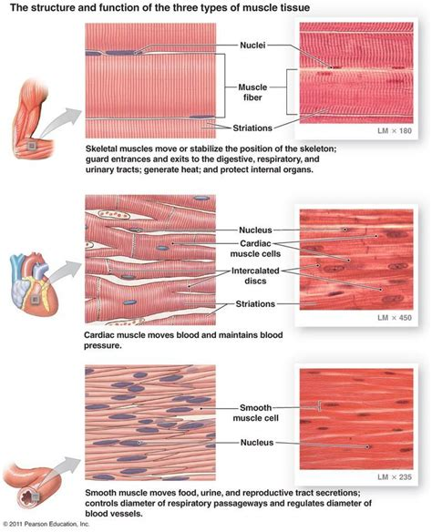 Compared to skeletal muscle, smooth muscle cells are small. MUSCLE TISSUE: Muscle tissue is important for movement and is highly vascular to meet its energy ...