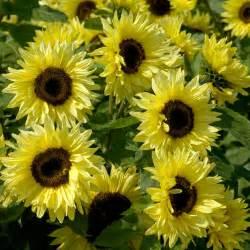 buy sunflower helianthus annuus 39 garden statement 39