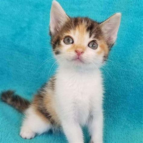calico cat names cutest tampabay source