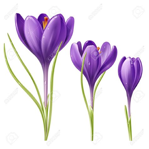 fiore crocus clipart crocus pencil and in color clipart
