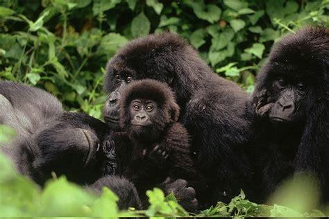 Mountain Gorilla Virunga National Park