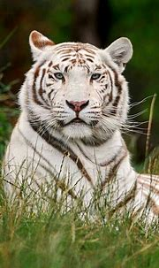 White tiger | Tiger pictures, Majestic animals, Beautiful cats