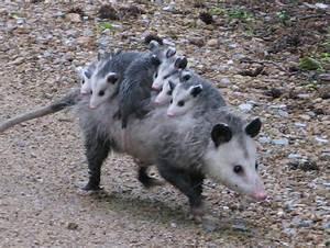 Opossum MowryJournal com