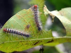 New  U0026 39 Zombie Virus U0026 39  Sending Caterpillars On A Death March