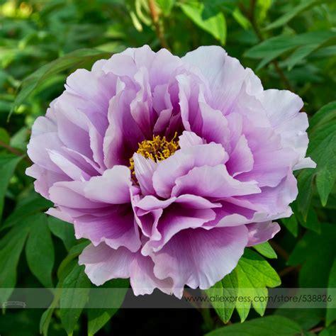 japanese names flower popular japanese peonies buy cheap japanese peonies lots from china japanese peonies suppliers