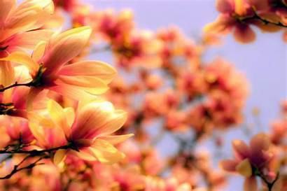Magnolia Desktop Wallpapers Flowers Computer