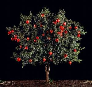 Pomegranate tree from Persephone's Grove | Greek Mythology ...