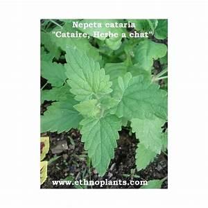 Graine Herbe A Chat : herbe chat plant de cataire ou nepeta cataria ~ Melissatoandfro.com Idées de Décoration