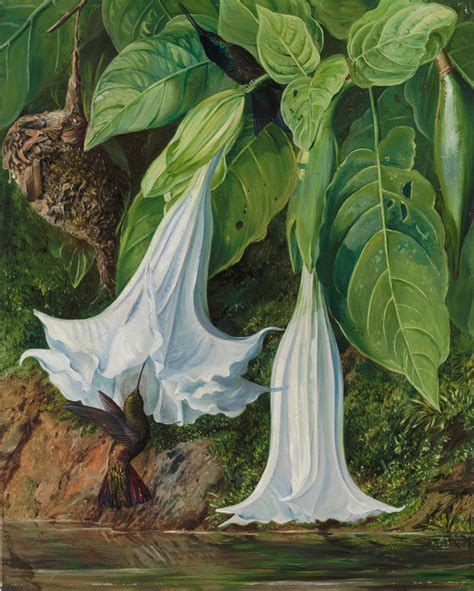 47 Flowers Of Datura And Humming Birds, Brazil