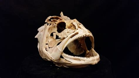 grouper skull paxton gate anatomy animal