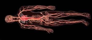 Veins  Arteries And Capillaries