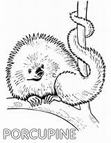 Porcupine Coloring Pages Coloringway sketch template