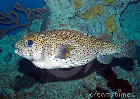 large puffer fish stock photo image