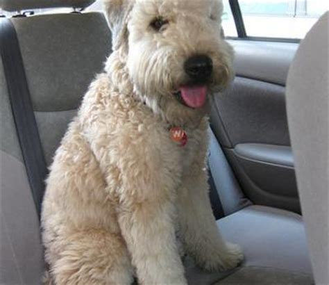 Do Wheaten Terrier Puppies Shed by Smooth Haired Fox Terrier Pictures Facts Petmd