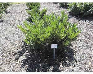 Baum Vorgarten Immergrün : pflanzen set vorgarten immergr n 7 3 stk bei hornbach kaufen ~ Michelbontemps.com Haus und Dekorationen