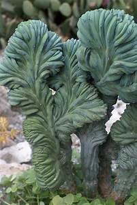 Sementes Cacto Cereus Peruvianus Monstrosus Suculenta