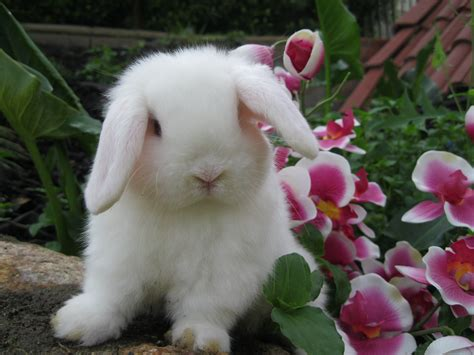 lop rabbit show quality holland lop rabbits for sale usa rabbit breeders