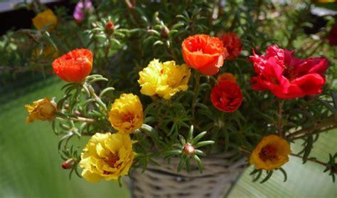 jenis tanaman hias tahan panas matahari tanaman hias