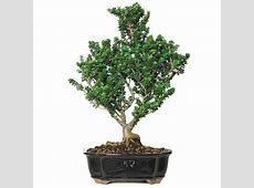 Dwarf Holly Bonsai Care