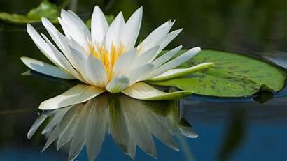 4k Lotus Flowers River 5k Lake Wallpapers