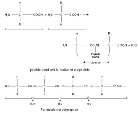 peptide bond formation tauigess