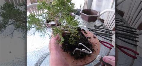 repot  juniper bonsai tree gardening wonderhowto