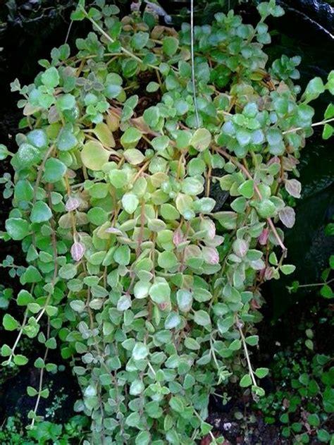 jenis jenis tanaman hias gantung cat rumah minimalis