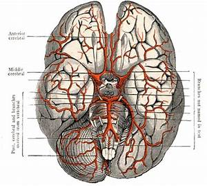 A Guide To The Human Brain  U2013 Medical Hypnotherapy