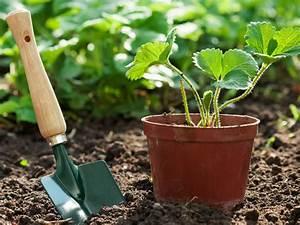 Erdbeeren Wann Pflanzen : wann pflanzt man erdbeeren ~ Watch28wear.com Haus und Dekorationen