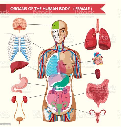 Human anatomy diagrams show internal organs, cells, systems, conditions, symptoms and sickness information and/or tips for healthy living. Organs Of The Human Body Diagram Stock Illustration - Download Image Now - iStock