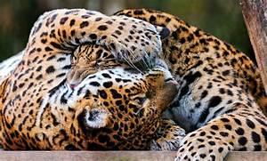 Jaguar Wallpapers Animal - johnywheels.com