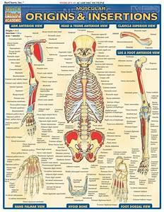 Muscular Origins  U0026 Insertions