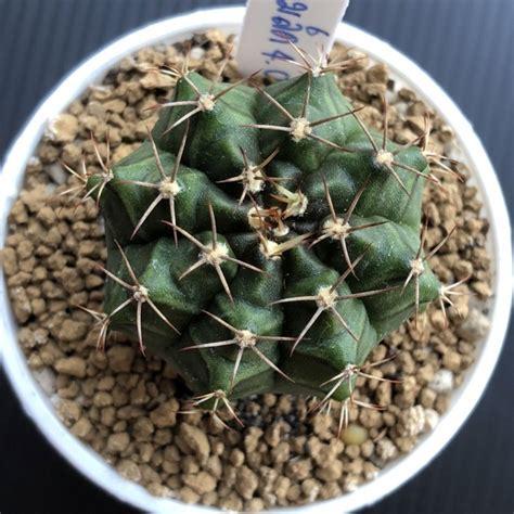 กระบองเพชร แคคตัส (ยิมโนด่าง, Gymnocalycium) - สินค้าที่ถูกจัดกลุ่มโดย BigGo