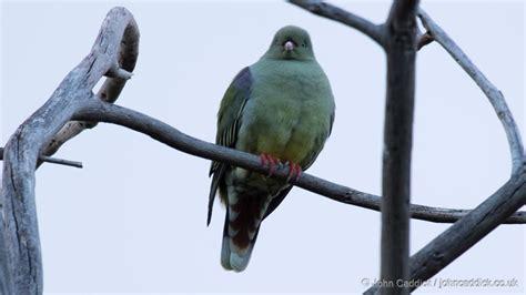 african green african green pigeon john caddick john caddick