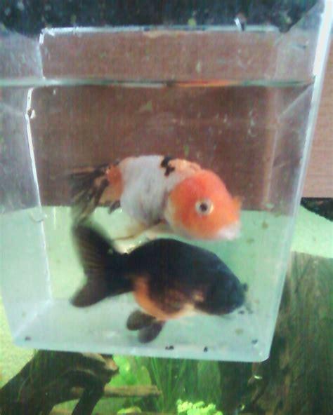poisson voile de chine aquarium vend voiles de chine et garra rufa