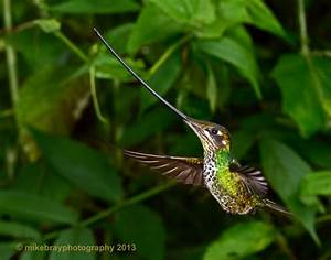 Hummingbirds Collection Mike Bray Photography