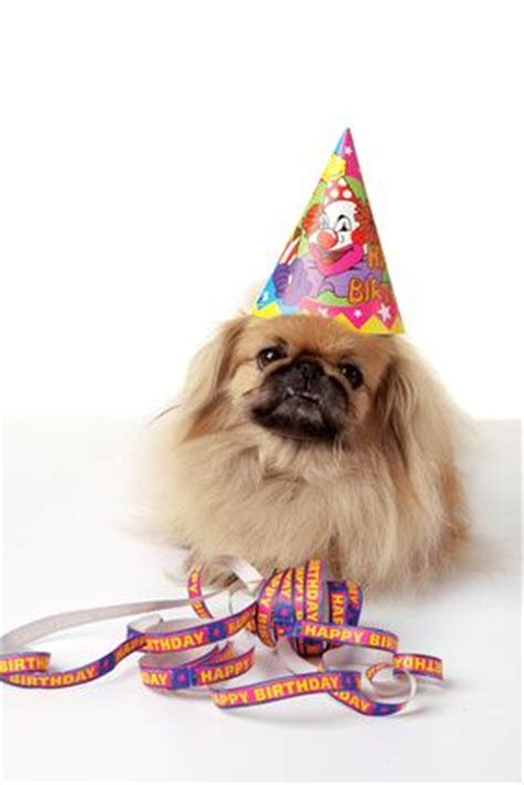 images  pekingese party dogs party pekes
