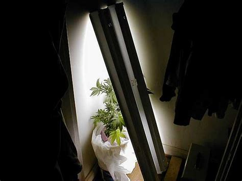 growing weed with fluorescent lights growing marijuana with fluorescent light bulbs growing