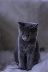 Cat Nebelung Russian Blue